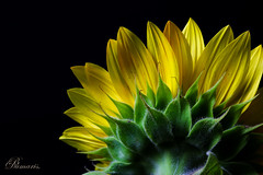 Sunflower (ciclope_3030) Tags: sun sunflower colors spring ants flower yellow natural pictures macro photography enjoy life black studio shadow
