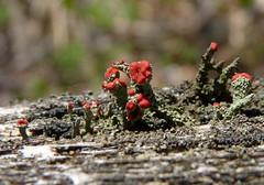 British Soldier Lichen (Dendroica cerulea) Tags: britishsoldierlichen cladoniacristatella cladonia cladoniaceae lecanorales lecanoromycetes ascomycota fungi cuplichen lichen spring highlandparkmeadows highlandpark middlesexcounty nj newjersey