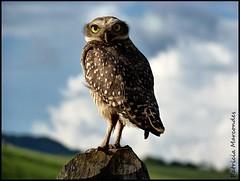Coruja (Patricia Marcondes) Tags: minas mg coruja pássaro bird brasil natureza nature patriciamarcondes owl