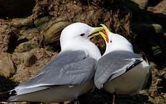 Kittiwake pair snogging! (Steve Balcombe) Tags: bird gull kittiwake rissa tridactyla white grey red yellow cliff coast colony nest pair seahouses northumberland england uk