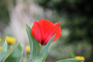 Easter Sunday Tulip