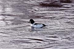 Telkkä / Goldeneye (Tuomo Lindfors) Tags: iisalmi suomi finland dxo filmpack myiisalmi telkkä goldeneye paloisvirta vesi water lintu bird