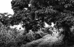 On the way together (Pejasar) Tags: gardenofeden westafrica ghana amedjofe balance harmony together theway path road africa trees bw blackandwhite