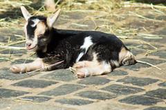 Bürgerpark Bremen 03 (akumaohz) Tags: animal animals natur nature tier tiere zoo tiergarten tierpark nikon d3200 outdoor ziege säugetier goat mammal haustier deutschland germany norddeutschland bremen bürgerpark kitz zicklein kid fawn