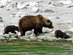 brown bear + cubs on the shoreline at cape kambal'nyy, kamchatka 4 (Russell Scott Images) Tags: cape mys kambal'nyy kamchatkapeninsula russianfareast russia kamchatkabrownbearursusarctossspberingianus cub