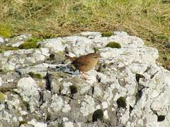 Wren (troglodytes troglodytes), Maidens (linweseregon) Tags: wren troglodytes maidens ayrshire birds scotland