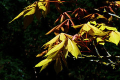 Limelight (Andrew Gustar) Tags: 117picturesin2017 westonbirt arboretum leaf sunlight