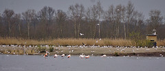 Flamingo's (♥ Annieta ) Tags: annieta maart 2017 sony a6000 nederland netherlands vakantie drente camper eibergen zwillbrock flamingo vogel bird oiseau roze pink allrightsreserved usingthispicturewithoutpermissionisillegal germany duitsland allemagne zwillbrockervenn