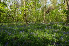 Cobham Wood Bluebells (Dave Lockwood DA12) Tags: kent cobham cobhamwoods outdoors outside outdoor landscape nikon d7200 lightroom sigma 1770 on1 bluebells