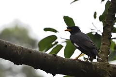 Common Myna (scv1_2001) Tags: nikon nikon70200mmvrii nikond750 taipeizoo bird animal 台北市立動物園