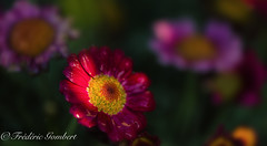 just a ray (frederic.gombert) Tags: flower flowers water watering sun sunray sunny rain red macro nikon d810 garden drop droplet