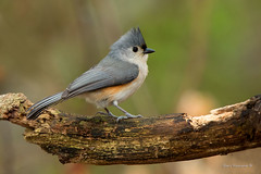 Tufted Titmouse (Earl Reinink) Tags: spring migration bird birds animal nature naturephotography earl reinink earlreinink ontario nikond5 titmouse tuftedtitmouse uohaauhdia