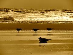 Tybee Island (sabine1955) Tags: möwen seagull ozean abendsonne eveningsun usa tybeeisland strand beach