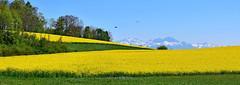 Colline du Brichy (Diegojack) Tags: paysages campagne colza cultures jaunes