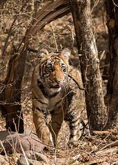 TIG170252GBw (giles.breton) Tags: pantheratigristigris royalbengaltiger tiger india ranthambhorenationalpark andyrouse dickysingh noor