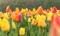 Burnside Farms (davebentleyphotography) Tags: burnsidefarms canon6d dave bentley photographyflowers hollandinhaymarket 2017 bloom canon floral tulips