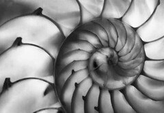 Nature explains infinity (FotoGrazio) Tags: waynegrazio waynesgrazio worldphotographer abstract art artofphotography blackandwhite chambers closeup composition contrast dream dreamy fineart forever fotograzio graytones hypnotize infinity life mothernature nature oceanlife pattern phototoart seashell shell spiral subconcious surreal texture time twilightzone