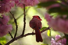 Cardinal in the blossom (sphaisell) Tags: pink red flowers trees wild nature cardinal blossom spring newyork nyc manhattan riverside riversidepark birdlife birds malecardinal