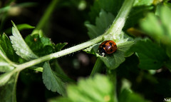coccinelle (nadineblanchard) Tags: coccinelle nature insecte