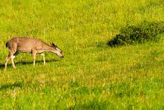Mule Deer (phoca2004) Tags: chilenovalley columbianblacktaileddeer d90 familyfarms farming farmland muledeer nikon odocoileushemionus odocoileushemionuscolumbianus pointreyesbirdingnaturefestival marshall california unitedstates us