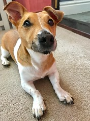 The look of guilt (KelJB) Tags: beautiful cute canine pet dog terrier jackrussell