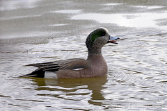 Declaring the Icy water Too Cold (A.Joseph Images) Tags: american wigeon duck bird animal nature canard outdoor wildlife waterfowl nikon nikkor200500mmedf56vr d7200 montreal quebec canada