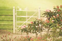 The Gate (paulapics2) Tags: kingstonlacy nationaltrustproperty dorset spring frühling printemps april soft romantic gate azaleas rhododendron plant flower flora floral vintage depthoffield canoneos5dmarkiii canonef70300mmf456lisusm garden path