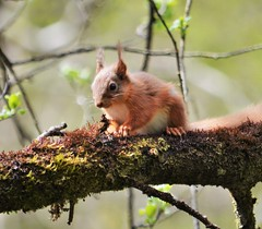 Red squirrel. (carolinejohnston2) Tags: woods tree woodland animal squirrel brush moss wildlife ireland fermanagh glen gorge branch nature