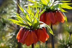 Red blossom (Maria Eklind) Tags: dof depthoffield garden bokeh spring colorful malmö nature slottsträdgården sweden slottsparken blommor outdoor redblossom flowers skånelän sverige se