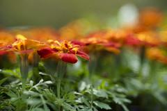 Untitled (WilliamND4) Tags: meyeroptikgoerlitztrioplanf28100lens nikond810 flowers red outside plants bokeh