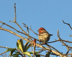 My House Finch (SolanoSnapper (UI too slow - taking a break)) Tags: housefinch carpodacusmexicanus