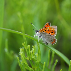(akashirokiiro) Tags: macro lumix g1  smallcopper