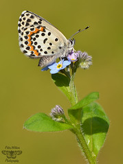 The Chequered Blue Butterfly - Scolitantides orion (Pete Withers) Tags: