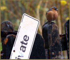 Male Chaffinch (eric robb niven) Tags: cycling scotland dundee wildlife pentaxkx wildbird glenlyon chaffinches ericrobbniven