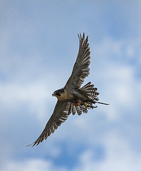 Bussard in Aktion (Seahorse_Cologne) Tags: bird hunting flight raubvogel birdofprey vogel jagd flug