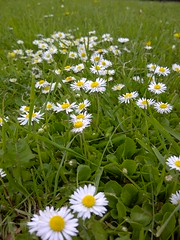 Daisies (BekahGreenwoodPhotography) Tags: flowers summer cute green nature grass daisies garden spring bright daisy bgreenwoodphotography