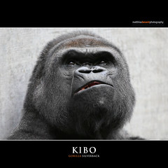 KIBO (Matthias Besant) Tags: animal animals mammal deutschland monkey tiere gorilla ape monkeys mammals apes fell tier affen primates silverback affe kibo primat silberruecken hominidae primaten querformat saeugetier saeugetiere menschenaffen hominoidea trockennasenaffe menschenartige affenfell menschenartig affenblick