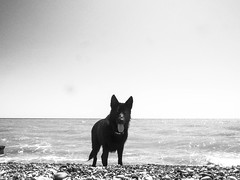 Miss Charley Leaping for Treats (imjustcreative) Tags: dog beach jumping germanshepherd alsatian