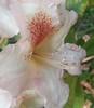 Rhododendron - I think... (marloft) Tags: 149365 flickrandroidapp:filter=none
