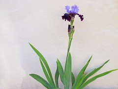Single flower against a wall (Rosmarie Wirz) Tags: iris france flower beauty contrast alsace elegance singleflower ammerschwihr