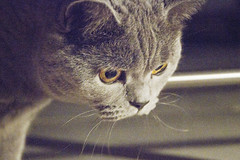 Whiskers (Amanda J Richards) Tags: blue cat grey eyes whiskers britishshorthair