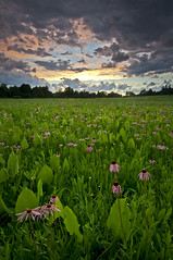 Wildflowr Sunset (baldwinm16) Tags: sunset nature clouds illinois coneflowers il thunderstorm wildflowers prairie prairiedock schulenbergprairie themortonarboretum midwestprairie natureofthingsphotography