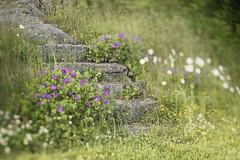 stay on the path (Birgit F) Tags: green norway lensbaby wildflowers grimstad fevik lensbabycomposer kvennebekken edge80