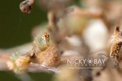 Lynx Spider (Oxyopidae) - DSC_6356 (nickybay) Tags: macro indonesia island spider babies lynx oxyopidae nikoi nikoiisland
