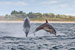 Double Dolphins (cjdolfin) Tags: sea wild two nature water mammal scotland highlands jump marine alba dolphin wildlife scottish highland marinemammal blackisle breach cetacean bottlenosedolphin tursiopstruncatus fortrose rossshire chanonrypoint cjdolfin doublebreach