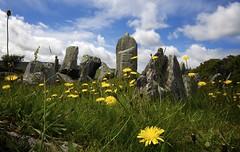 Dandelions (dangerousdavecarper) Tags: wild man flower stone circle rocks ground dandelion age burial isle yn cashtal yrd 1800bc