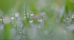 Glistening Dew Drops (charlottz - Charlotte G Photogra