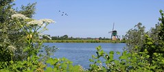 Idyllic vista on the Weijpoortsche Molen (Bn) Tags: summer green mill nature water netherlands windmill birds bike swimming landscape cycling geese sailing cows heart hiking lakes nederland windmills tourist goose ganzen canals willow waterlilies zomer biking hart