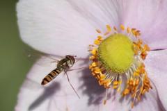 Ape su anemone IMG_4469 (gio757) Tags: canon bee landing volo anemone ape fiore miele lavoro polline fbdg