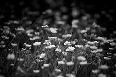 BW Buttercups (Jchales.co.uk) Tags: bw white black major aperture software nik essex vignette maldon buttercups tolleshunt canonef70200mmf28lisiiusm jchalescouk